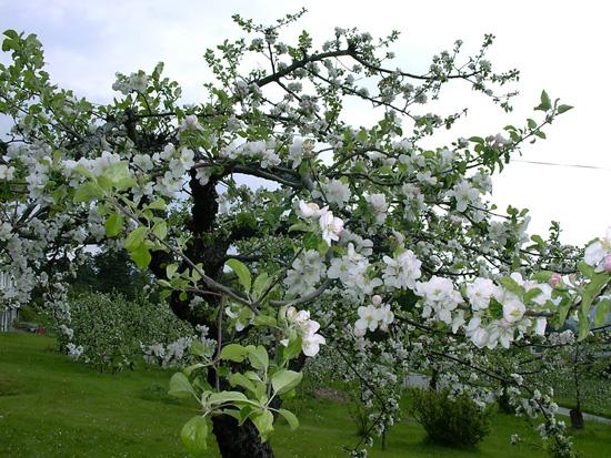 20 mai er det store muligheter for å se epleblomstene i Telemark. Dette bildet er fra Akkerhaugen ved Gvarv